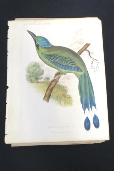 1859 Momotus Coeruleiceps Rare Hand Colored Engraving 11X9 Inches