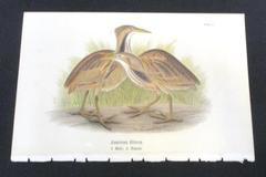 American Bittern Print Warrens Birds of Pennsylvania Chromolithograph 1888