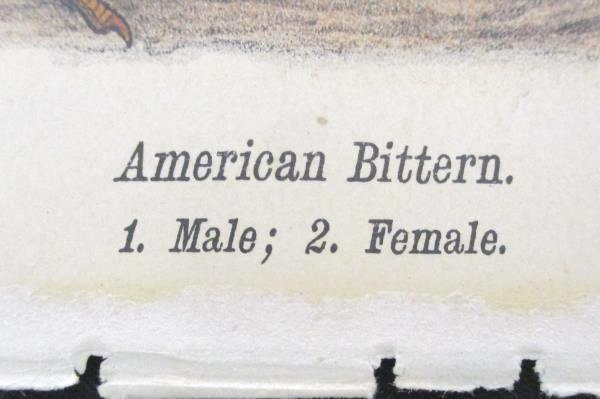 American Bittern Print Warrens Birds of Pennsylvania Chromolithograph 1888
