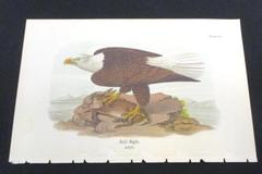 1890 Audubon BALD EAGLE with Prey Adult Bird Rabbit Plate 84