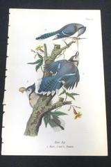 Vintage 1890 Chromolithograph Bird Print Plate # 25 Blue Jay Audubon Society