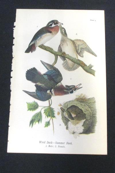 Wood Summer Duck Vintage 1890 Chromolithograph Color Bird Print Antique Plate 4