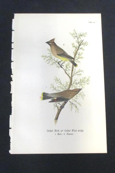 Cedar Bird or Cedar Wax Wing Vintage Bird Print by John James Audubon