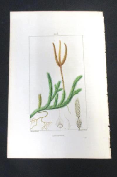 1832 Flore Medicale Botanical Club-Moss Engraving Pierre Turpin Lambert Paris