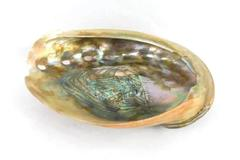 Polished Abalone Shell Brown And Beige Outside Rainbow Inside