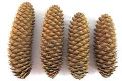 Lot of 4 Sugar Pine Cones Natural Arts Crafts Decor 6 in. To 7.5 in. DIY