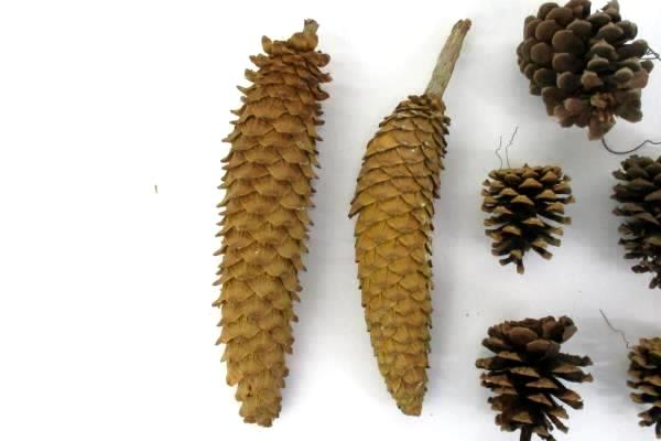 Lot Of 16 Pine Cones Real Various Sizes DIY Holiday Craft Ornaments Centerpiece
