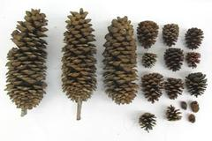 Lot Of 17 Pine Cones Real Various Sizes DIY Holiday Crafts