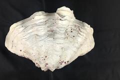 """Natural Tridacna Squamosa Ruffled Clam Half Seashell White Pink Flakes 10"""""""
